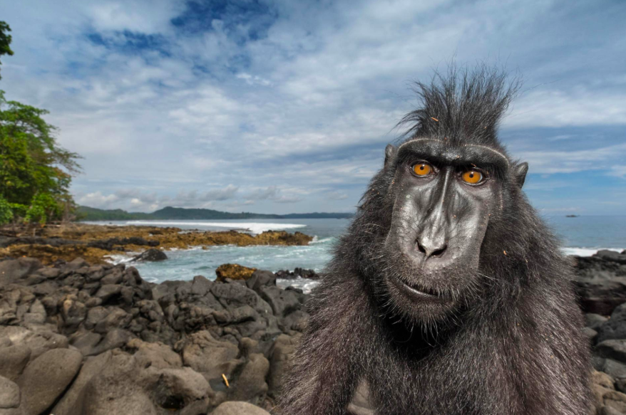 Monkey Selfies, Catching Yawns, and Soulful Connections